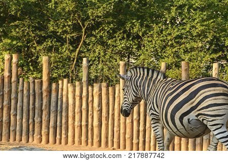 The Chapman's zebra Equus quagga chapmani . Zebra herbivorous mammal of the African savannah zebras live in numerous flocks on the plains south africa kruger national park