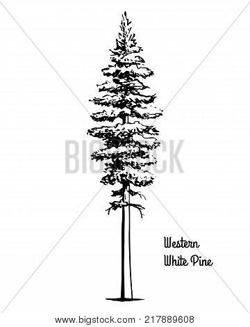 Vector sketch illustration. Black silhouette of Western white or silver pine, isolated on white background. Drawing of evergreen coniferous California mountain pine, Idaho state tree.