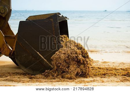 Cleaning the beach from algae with a tractor and dumper