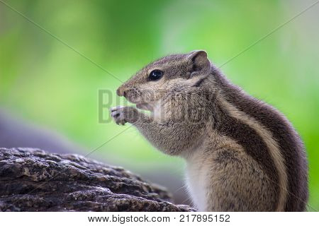 Squirrels are members of the family Sciuridae, a family that includes small or medium-size rodents. The squirrel family includes tree squirrels, ground squirrels, chipmunks, marmots, flying squirrels, and prairie dogs amongst other rodents