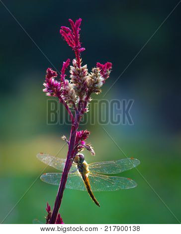 A dragonfly is an insect belonging to the order Odonata, infraorder Anisoptera. Adult dragonflies are characterized by large, multifaceted eyes, two pairs of strong, transparent wings, sometimes with coloured patches, and an elongated body.