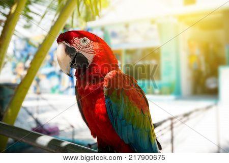 Ara scarlet parrot under palm leaf, close up