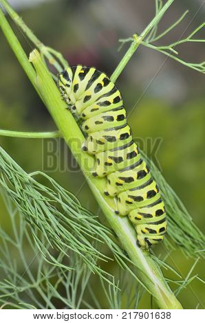 A close up of the caterpillar (Papilio xuthus) eating dill.