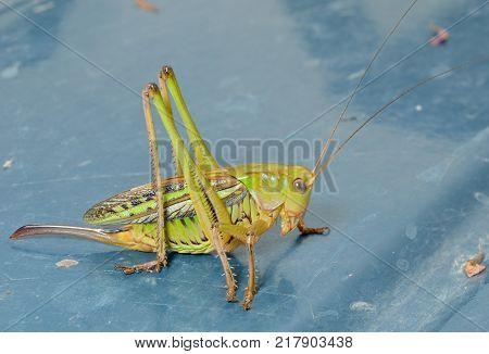 A close up of the grasshopper doe.