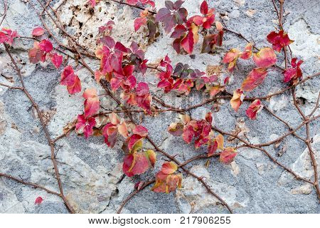 Backgrounds. A plant with red autumn foliage clambering over a stone wall
