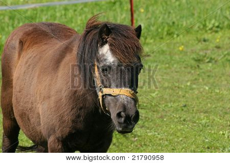 Pony in a pasture in summer- portrait poster