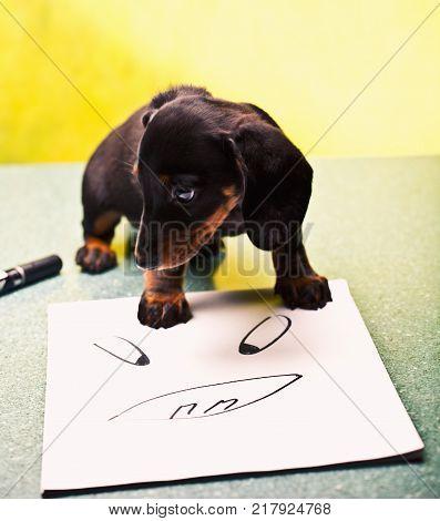 Dachshund dog student studio quality black background
