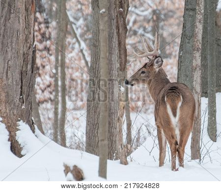 Whitetail Deer Buck standing in the snow in the woods.