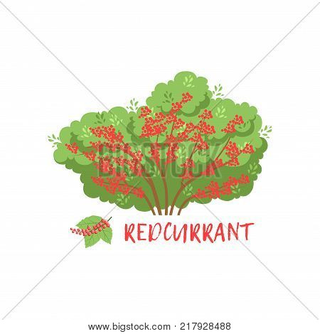 Redcurrant garden berry bush with name vector Illustration on a white background
