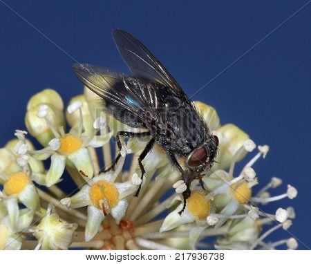 House fly on fuchsia Japonica plant flowers collecting nectar.