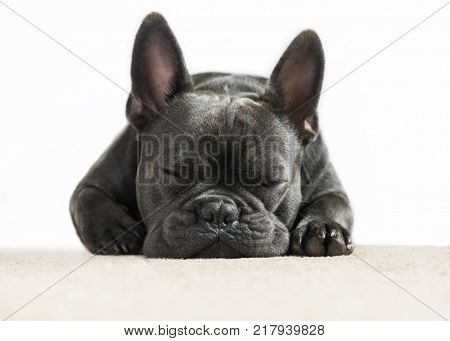 cute close up full frontal image of a french bulldog asleep dreaming on a cream carpet with a white background for the use of text and wording