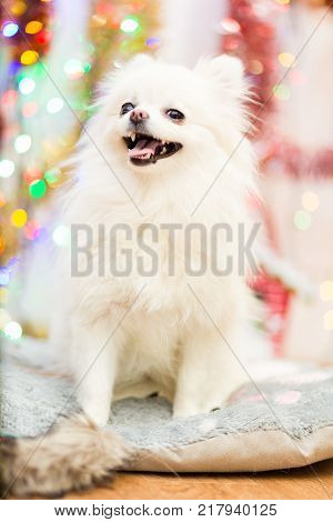 Dog of Pomeranian Pomeranian breed of white with a funny face on the background of Christmas garlands
