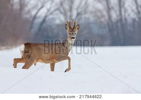 Roe deer (Capreolus capreolus) in winter. Walking male deer buck with snowy background. Wild animal in cold snow covered country.