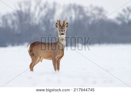 Roe deer (Capreolus capreolus) in winter. Roe deer with snowy background. Wild animal with antlers covered by velvet.
