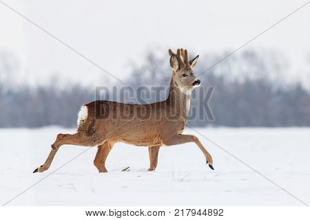 Roe deer (Capreolus capreolus) in winter. Roe deer with snowy background. Wild animal walking in snow.