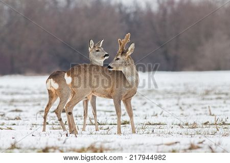 Roe deer (Capreolus capreolus) in winter. Roe deer buck with antlers covered in velvet. Wild animal male and female cute interaction.