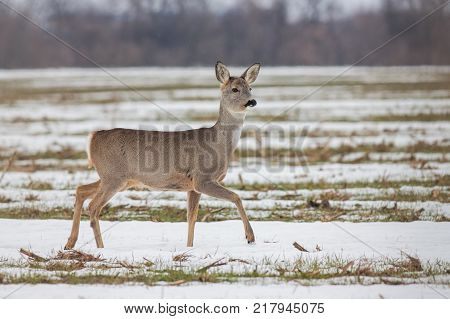Roe deer (Capreolus capreolus) in winter. Roe deer doe walking on melting snow. Wild animal in natural habitat.