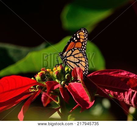 Closeup of beautiful monarch butterfly and colorful poinsettia in full splendor