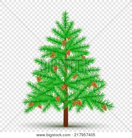 Spruce with cones on transparent background. Christmas fir tree and pine cone in branches. Green needles plant with shadow. New Year pine fir-tree