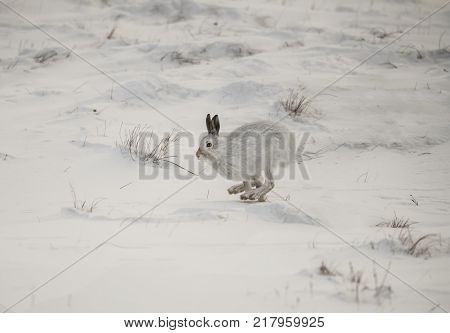 Mountain Hare Running On A Snowy Hillside In The Winter