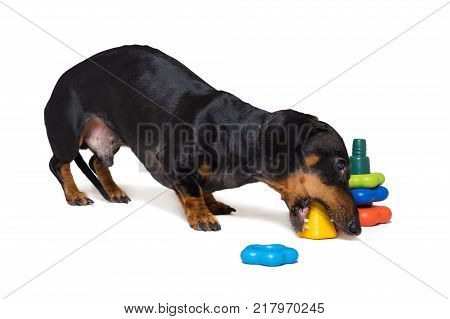 dog puppy dachshund black and tan playing pyramid toy isolated on white background