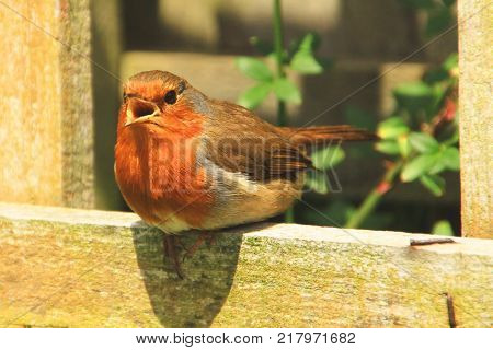 Robin redbreast Christmas bird tweeting on a trellis in the garden sunshine.
