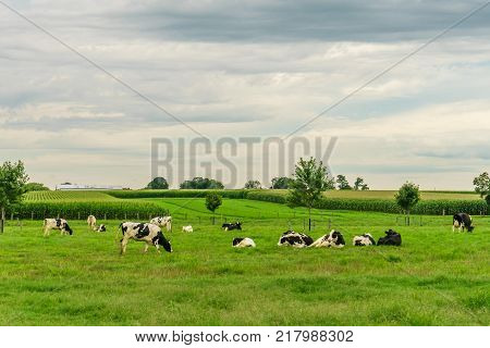 Amish country farm barn field agriculture and grazing cows in Lancaster PA US
