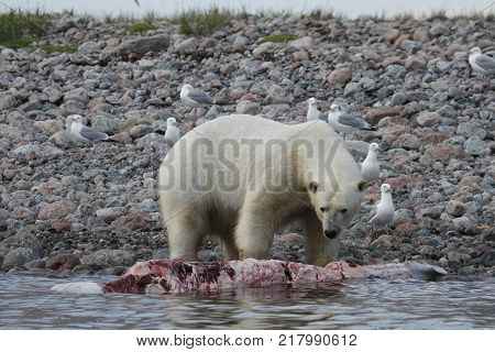 Polar Bear (Ursus Maritimus) eating a beluga whale along the shoreline near Arviat, Nunavut Canada