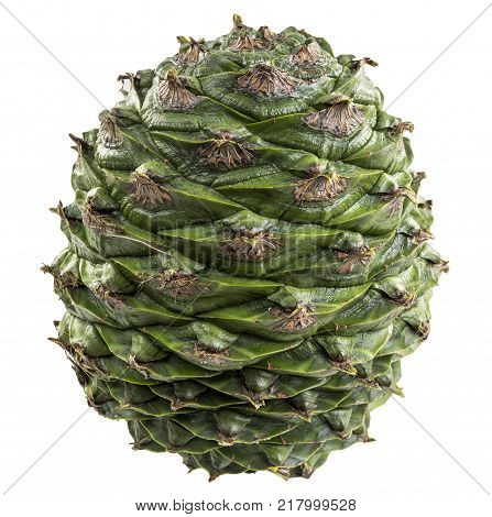 Cone of the bunya pine Araucaria bidwillii is a large fruit 20-35 cm in diameter and when mature release large 3-4 cm seeds or nuts. It is found naturally in south-east Queensland Australia. poster