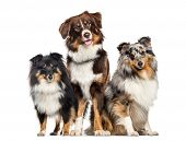 Shetland Sheepdog and Australian Shepherd, dogs in a row, white background poster