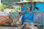 The camel for transportation of people lays near a hut poster