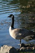 Canadian Goose standing on the shore of an Oregon lake in late afternoon poster