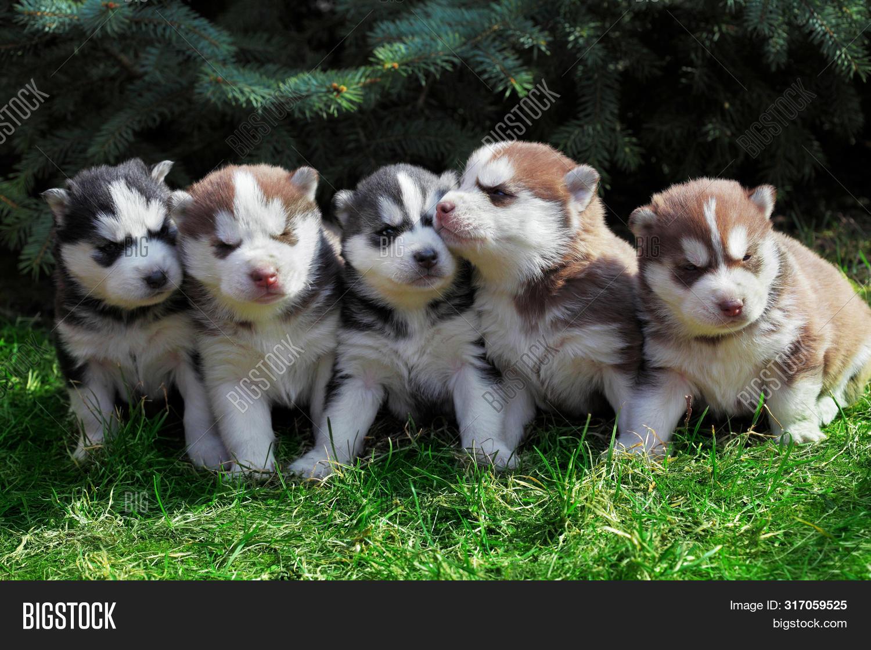 Newborn Siberian Husky Image Photo Free Trial Bigstock