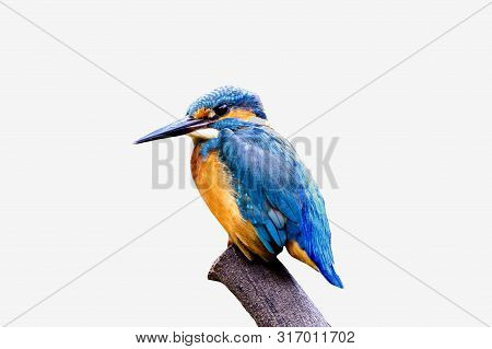 The Common Kingfisher (alcedo Atthis) Beautiful Bird On White Background