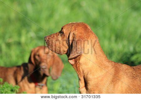 redbone hound dog
