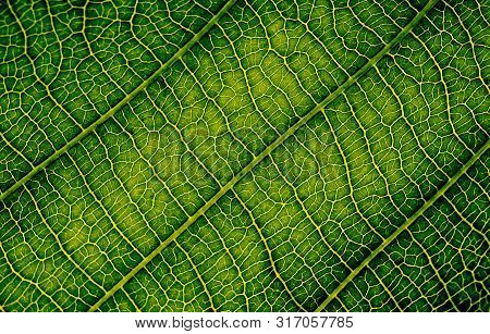 Nature Texture Closeup Leaf Veins High Detail Of Macro On Green Plant Leaves With Chlorophyll Cell T