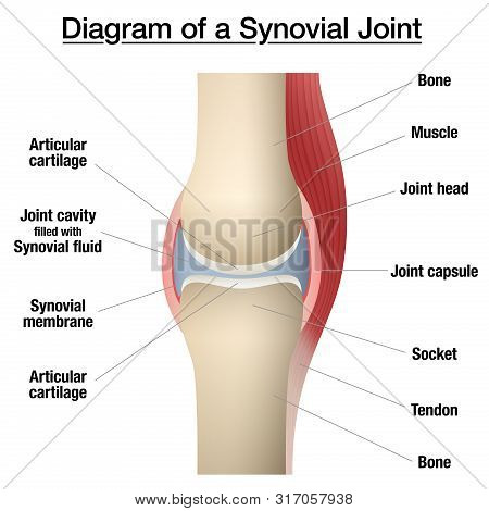Synovial Joint Chart. Labeled Anatomy Infographic With Two Bones, Articular Cartilage, Joint Cavity,