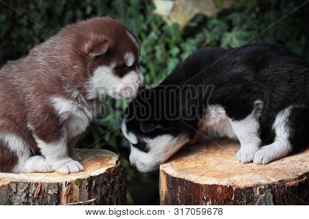 Two Newborn Siberian Husky Playing.brown And Black.puppy Siberian Husky.siberian Husky Copper And Bl