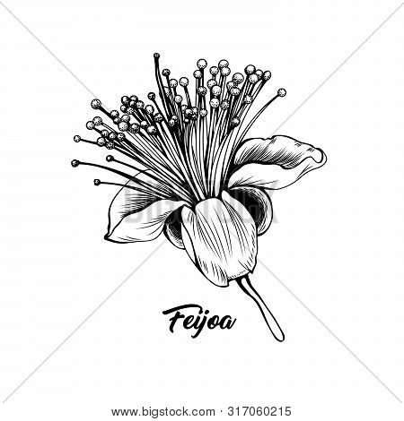 Feijoa Flower Hand Drawn Vector Illustration. Beautiful Blossom, Elegant Blooming Bud Black And Whit