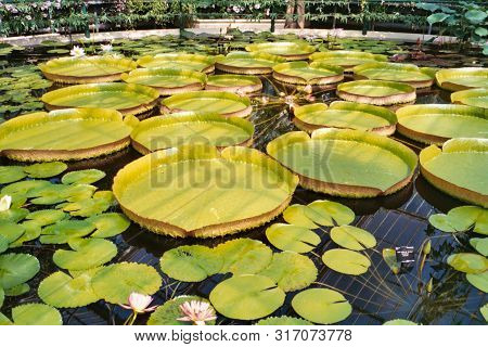 Closeup Of The Huge Floating Lilly Pad Leaves And Flowers