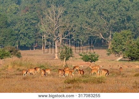 Herd of spotted deer or chital (Axis axis) feeding in natural habitat, Kanha National Park, India