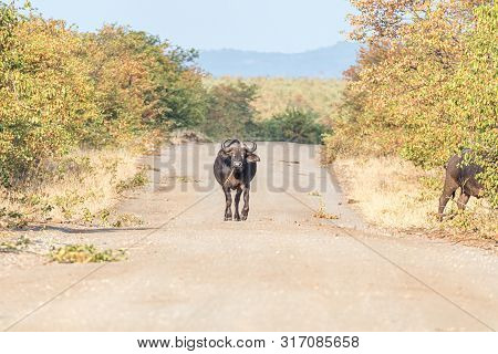 A Cape Buffalo, Syncerus Caffer, Walking On A Gravel Road Towartds The Camera