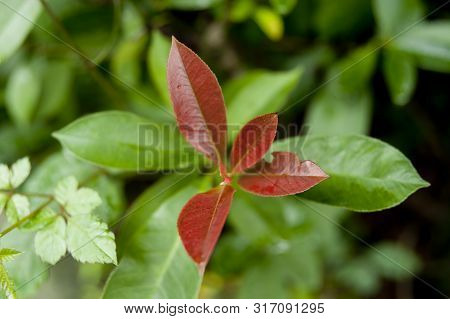 Red leaf - Berberis thunbergii (Japanese barberry, Thunberg's barberry, or red barberry) is a species of flowering plant in the Berberidaceae family, native to Japan and eastern Asia.
