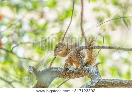 A tree squirrel, also called Smiths bush squirrel, Parexerus cepapi, eating an acorn poster