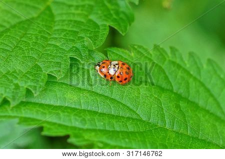 Two Small Red Ladybugs On A Green Leaf Of A Plant