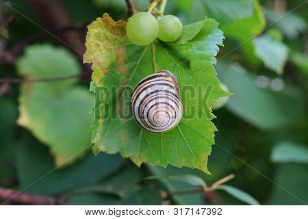 Gray Snail On A Green Leaf Of Grapes With Berries