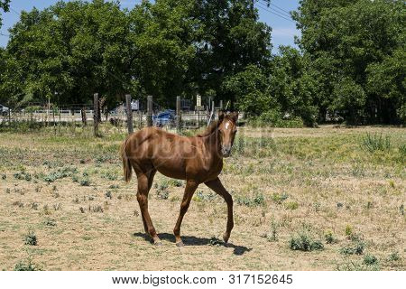 A Cute, Young, Brown Horse With A White Blaze, Or Star, On Its Forehead Prancing Across A Dusty, Mos