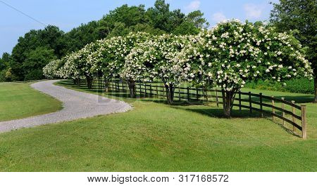 Curving Driveway Has Blooming White Crapemyrtles And Rustic Wooden Fence.  Blue Sky Above.
