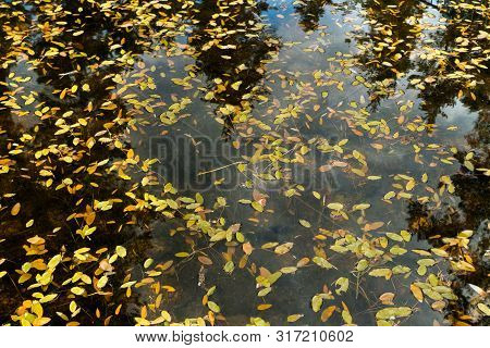 Texture Background With Waterplant Pondweed Leaves On The Pond Surface In Finland.
