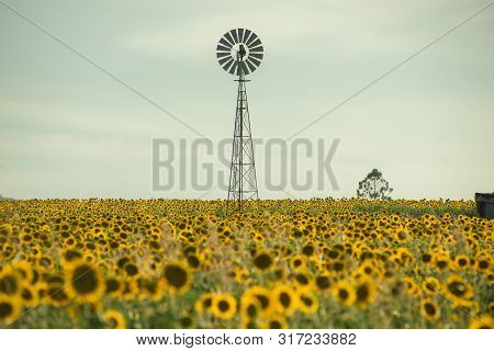 A Picturesque Field With Sunflowers And A Lone Windmill In Nobby, Toowoomba. Queensland, Australia.